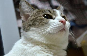 ペットロス 猫の旅立ち キジ白
